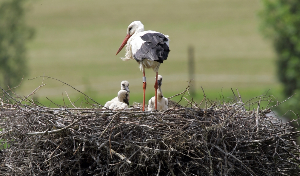 Als boeren weidevogels willen beschermen, moeten ze geen paal met plateau neerzetten om ooievaars te laten broeden, vindt ecoloog Tim van den Broek. 'Dan moet je scherpe keuzes maken.'  (beeld anp / Vincent Jannink)