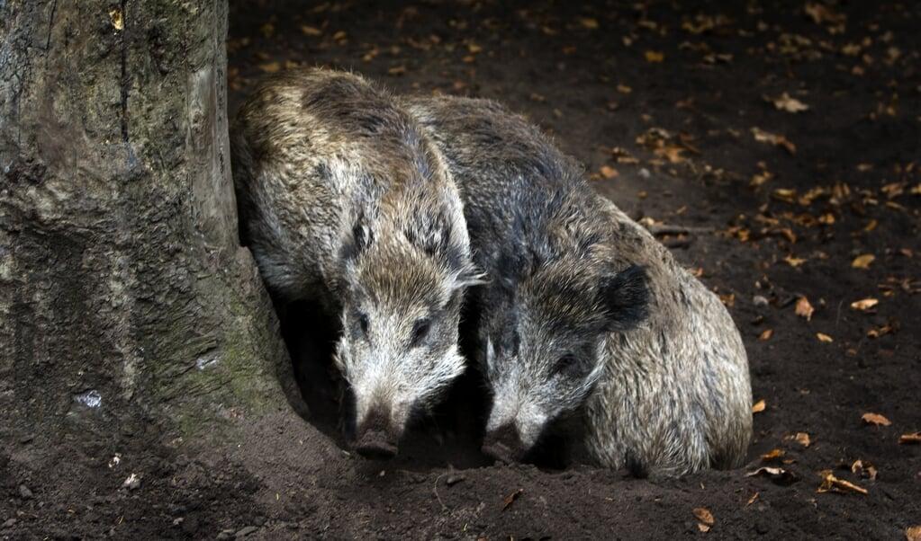 Voor 1 september moet het teveel aan wilde zwijnen grotendeels zijn afgeschoten.  (beeld anp / Koen Suyk)