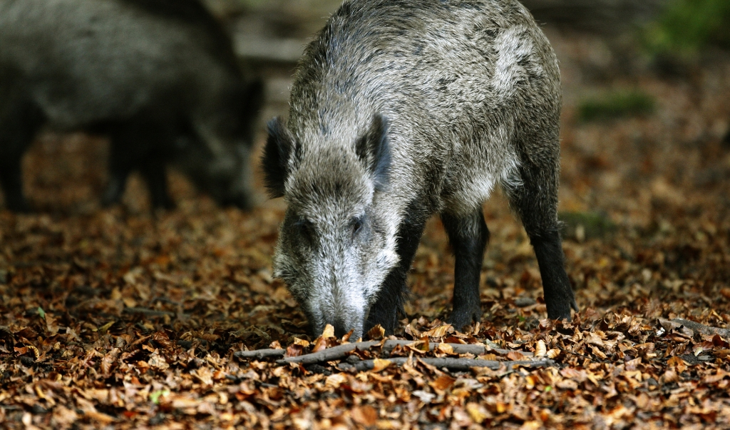 Op de Veluwe mogen de wilde zwijnen in vrijheid leven.  (beeld anp / Koen Suyk)