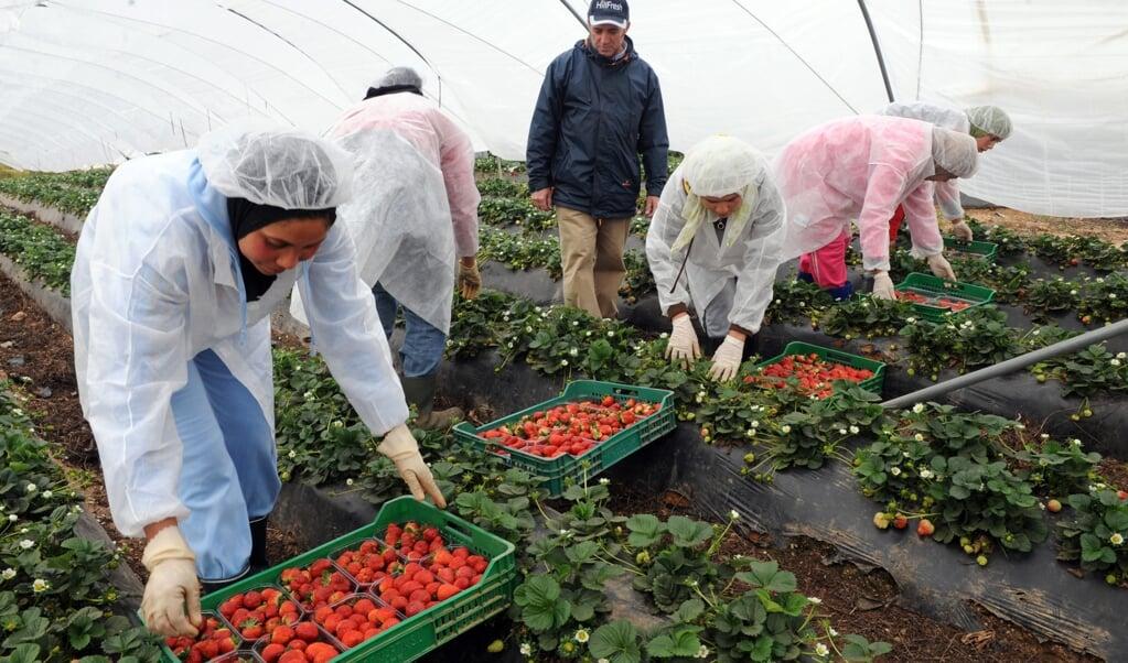 Aardbeienpluksters uit Marokko aan het werk in het zuiden van Spanje. 'Extreem lange werkdagen voor bijna of soms helemaal niets'.  (beeld afp / Abdelhak Senna)