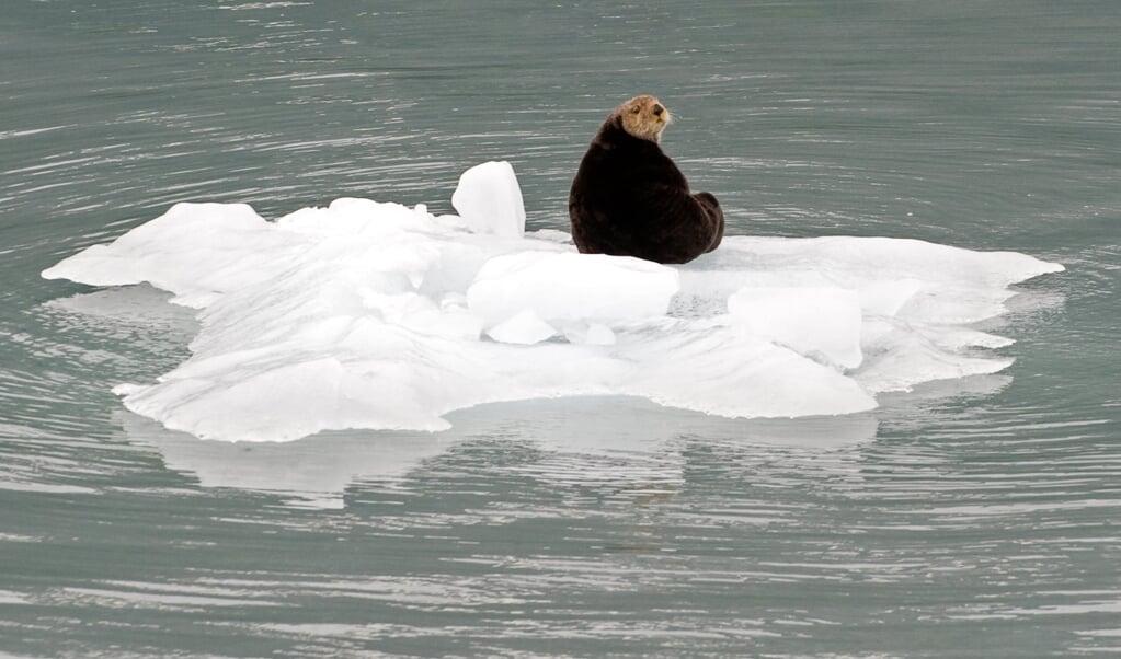 <p>De otter, een befaamd roofdier rondom de eilanden van Alaska, is dramatisch in populatie afgenomen sinds de jaren negentig. Toch is alle hoop op hem gevestigd in de jacht op zee-egels.</p>  (beeld afp / Saul Loeb)