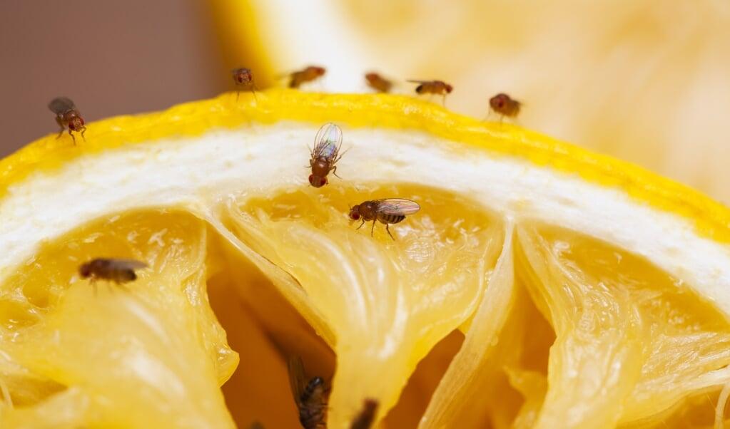 Fruitvliegjes worden vooral aangetrokken door de alcohol- en azijnlucht die ontstaat bij verrotting of fermentatie.  (beeld istock)