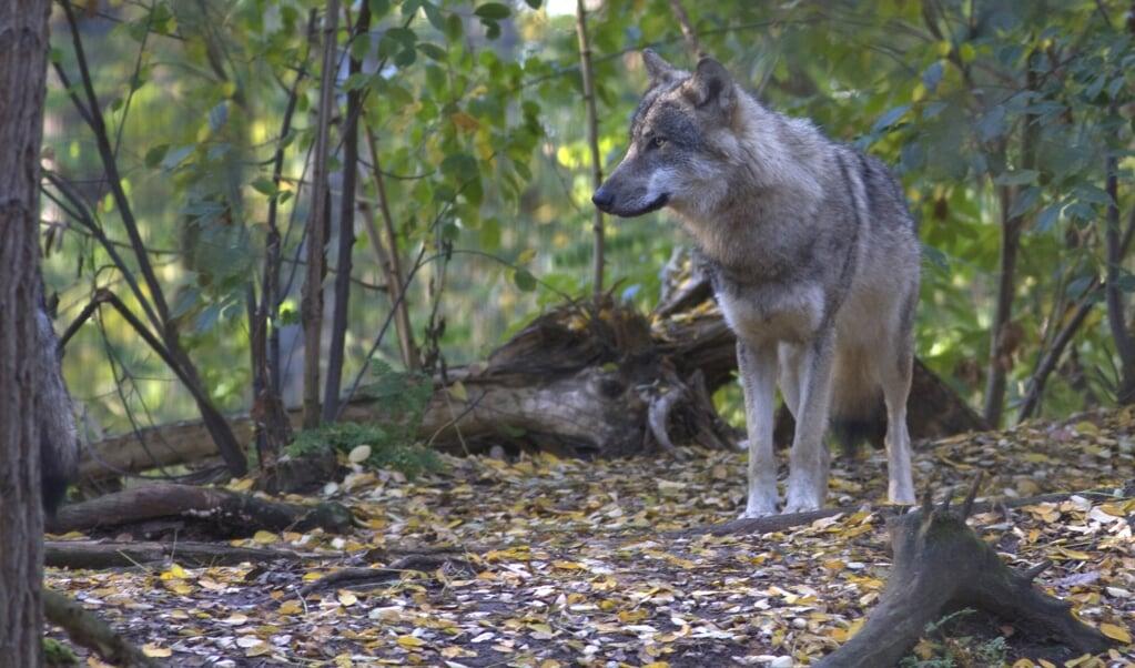 Hoewel een gevestigde wolf zich vooral voedt met wild, wordt zo nu en dan vee aangevallen door het roofdier.  (beeld F.J. Woltman)