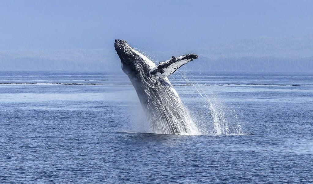 Een bultrug is een baleinwalvis. Deze walvissoort is de grootste diersoort op aarde.  ( beeld pixabay)
