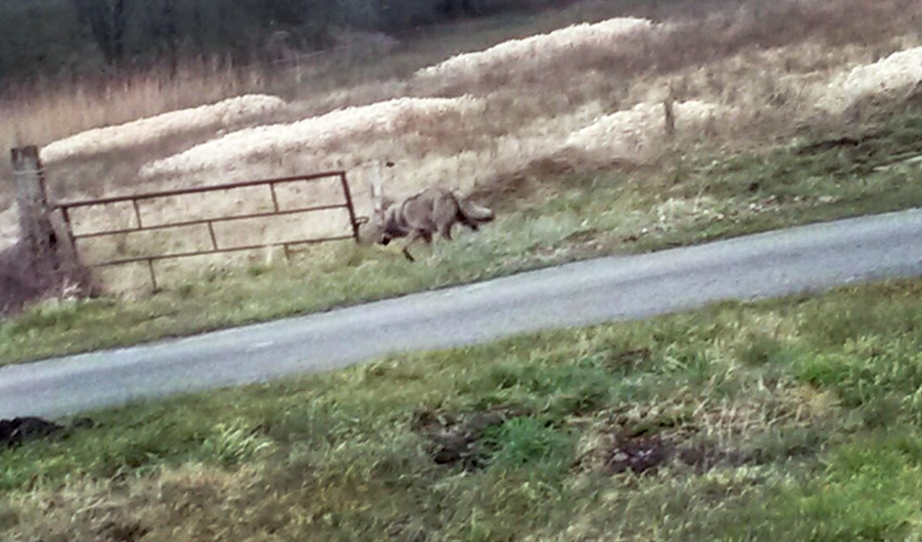 In maart 2015 werd voor het eerst in lange tijd weer een wolf in Nederland gespot. Hier loopt het dier langs de N381 bij Noord-Sleen, niet ver van Emmen.   (beeld anp / Jan van der Aa)