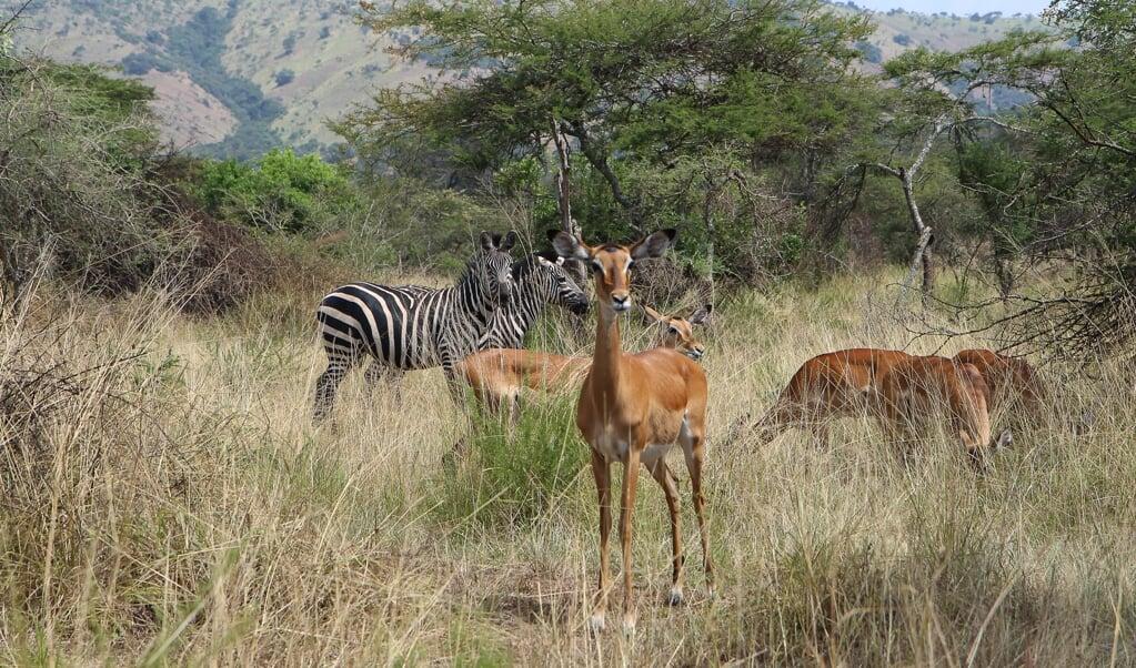 In Afrikaanse landen dalen populaties van onder meer antilopen, neushoorns en olifanten fors. Welvarende landen hebben domweg meer geld en mogelijkheden om kwetsbare diersoorten te beschermen.   (beeld afp / Stephanie Aglietti)