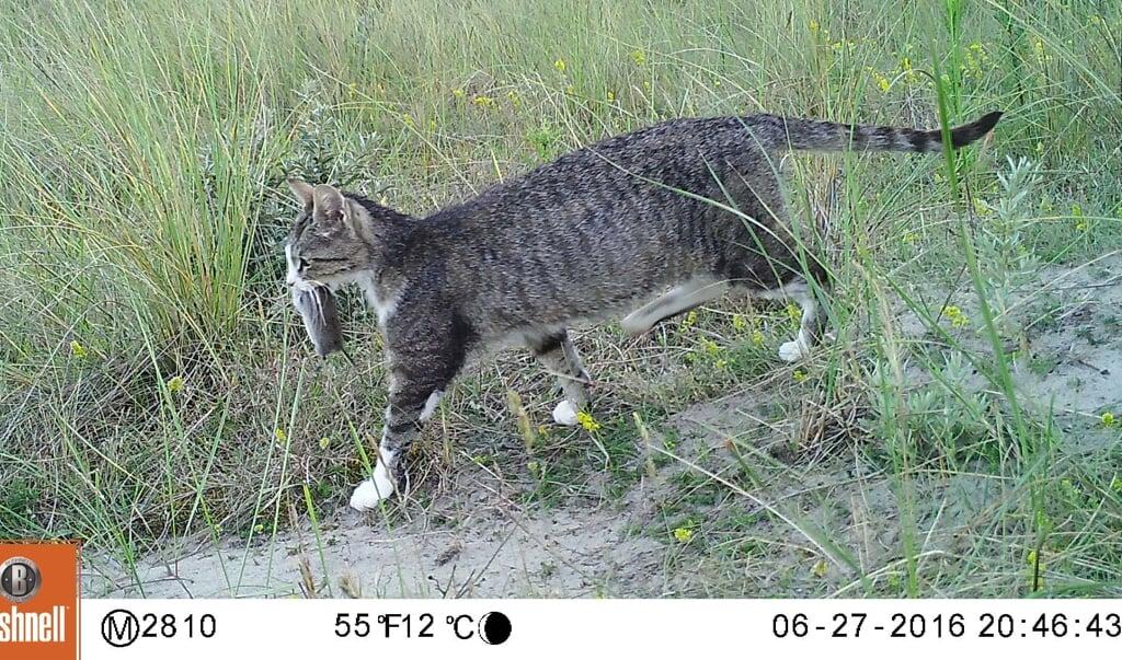 <p>Verwilderde katten zijn gewild als boerderijkat omdat het geduchte muizenvangers zijn.</p>  (beeld staatsbosbeheer)