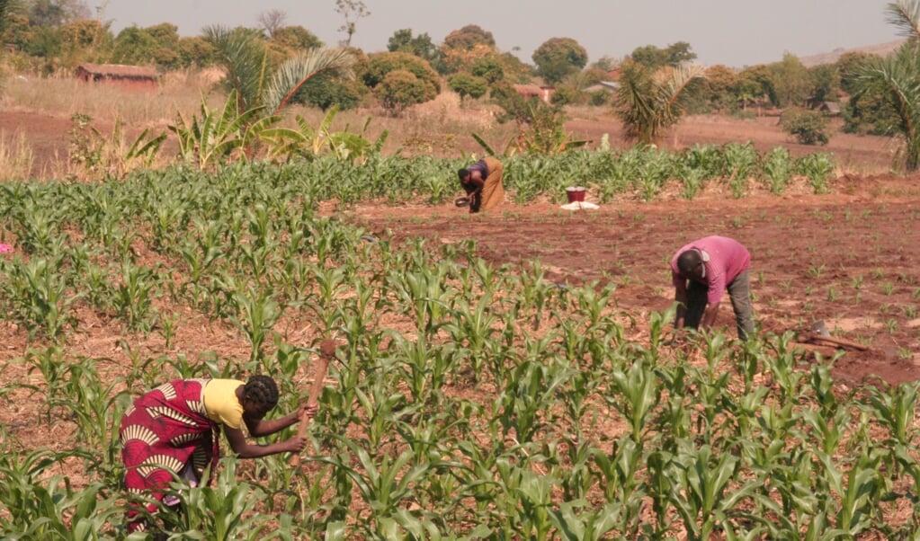 Op een klein stukje land kunnen boeren voedsel verbouwen waar hun gezin een jaar van kan leven.  (beeld Foundations for Farming)