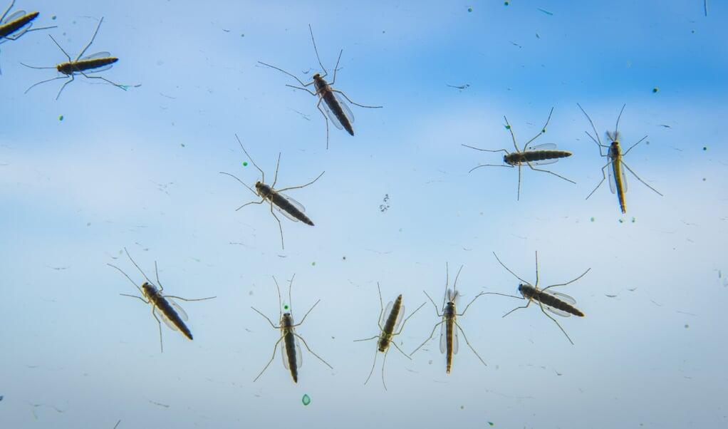 Muggen spelen een rol bij de bestuiving van bloemen, al is de rol van bijen en hommels groter. Ook dienen ze als voedsel voor vogels en vleermuizen.  (beeld Lex van Lieshout)
