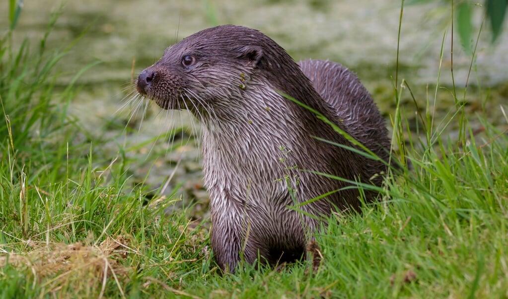 Nederland telt ongeveer 360 otters, maar Hans Blom denkt dat er ruimte is voor meer dan twee keer zoveel.  (beeld Randy van Domselaar)