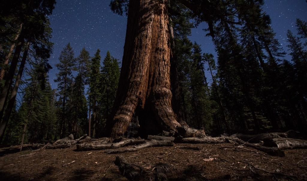Een reuzensequoia, de Grizzly Giant, in het park.  (afp / David McNew)