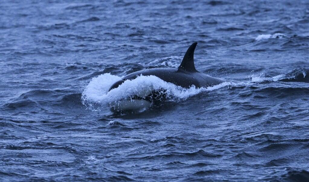 Een orka (niet Tahlequah).   (beeld afp / Olivier Morin)
