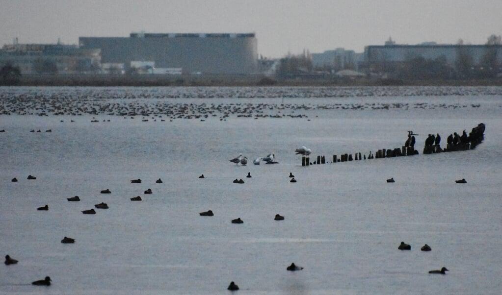 De Surfplas in Reeuwijk is een diepe plas die moeilijk  bevriest en waar vogels massaal overwinteren.  (beeld Theo Haerkens)