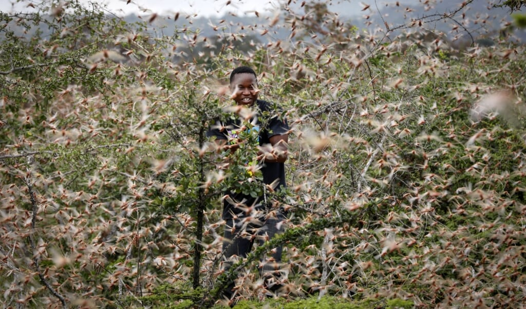 Chinese onderzoekers ontdekten een geurstof die ervoor zorgt dat treksprinkhanen zich verzamelen.  (beeld epa / Dai Kurokawa)