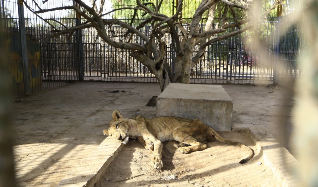 beeld   One of five sick and malnourished lions held at a park in the Sudanese capital died today, an official said, amid a growing online campaign to save the animals. ASHRAF SHAZLY / AFP