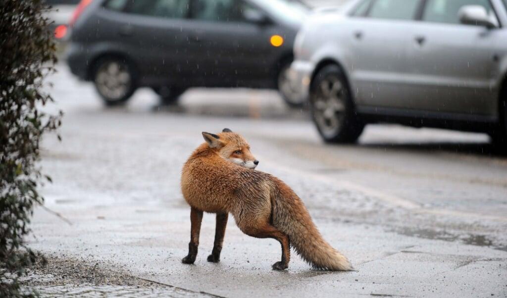 <p>Een vos in het centrum van Berlijn.</p>  (beeld afp / J&ouml;rg Carstensen)