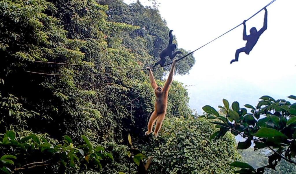 <p>Een Hainan-gibbon op de touwbrug.</p>  (beeld kadoorie farm and botanic garden)