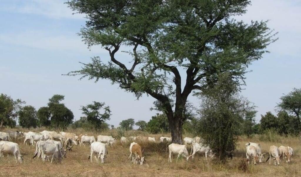<p>Vee onder een acaciaboom in Senegal. </p>  (beeld Laurent Kergoat)