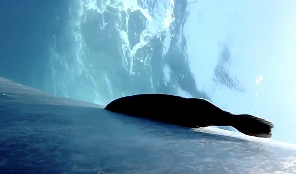 Een remora op een blauwe vinvis.  (beeld Stanford University & Cascadia Research Collective)