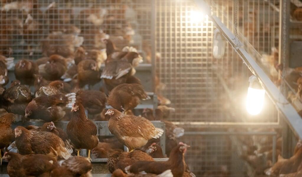 <p>De kippen van pluimveehouder Theo Bos in de stal.</p>  (beeld anp / Robin van Lonkhuijsen)