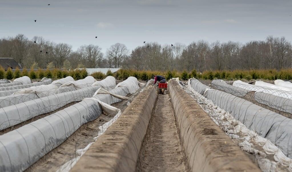 <p>Dit jaar werden asperges veelal niet door seizoensarbeiders uit Polen en Roemenië gestoken, maar door studenten en mensen uit de buurt. </p>  (beeld anp / Robin van Lonkhuijsen)
