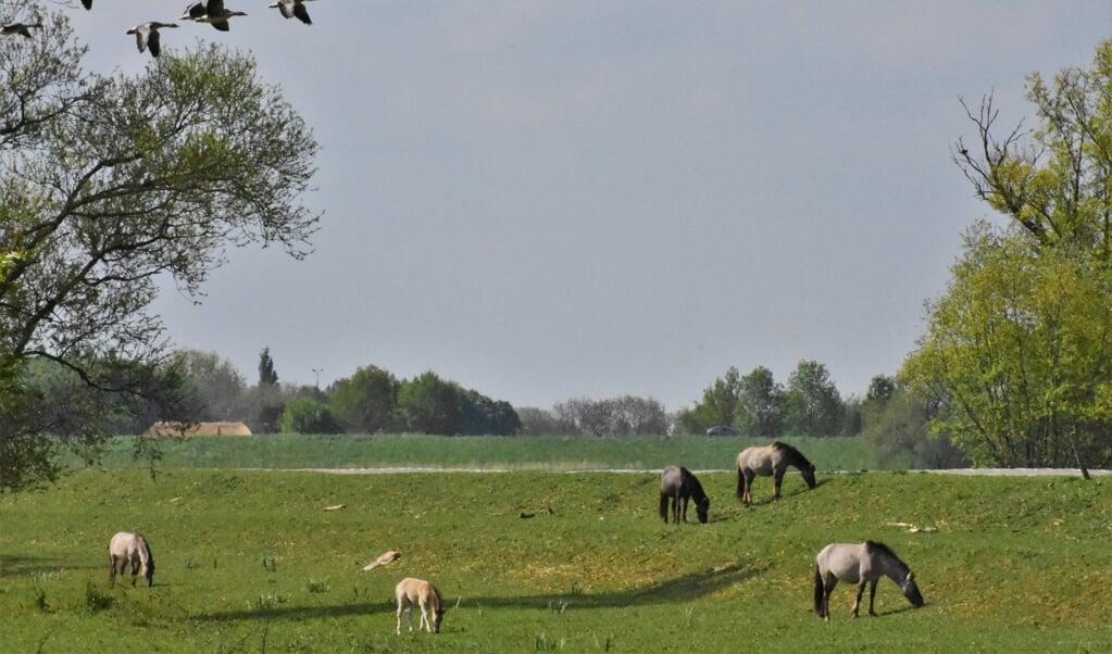 Konikpaarden met veulens in het Munnikenland bij Brakel in het westen van de Bommelerwaard.  (beeld Theo Haerkens)