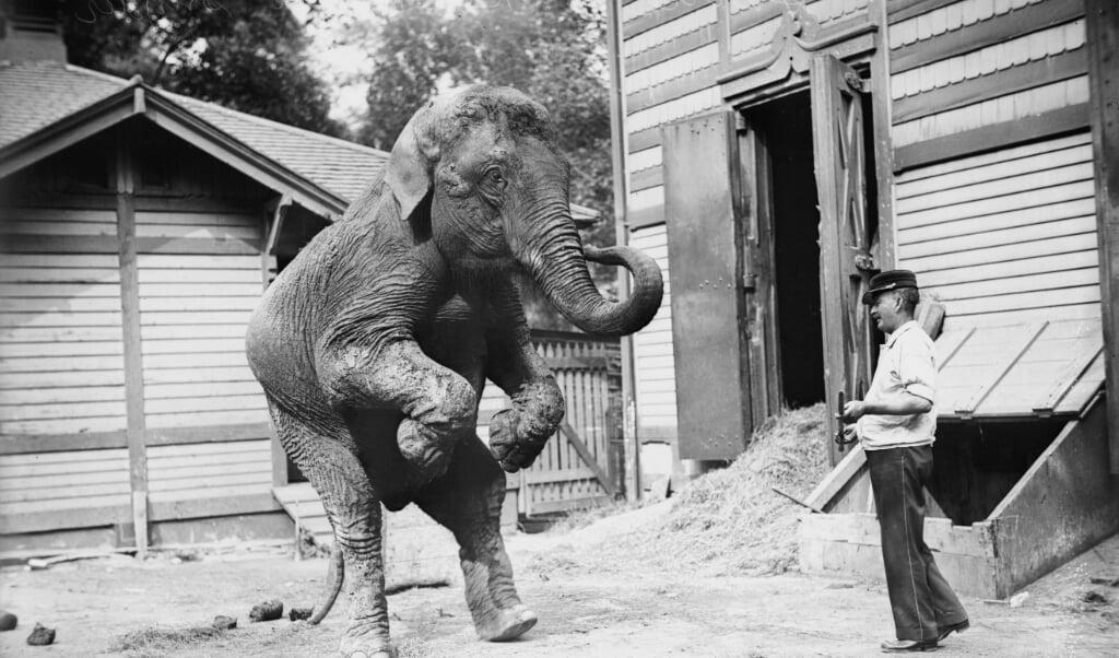 Hattie de Olifant met zijn trainer Bill Snyder.  (beeld Bain Collection )