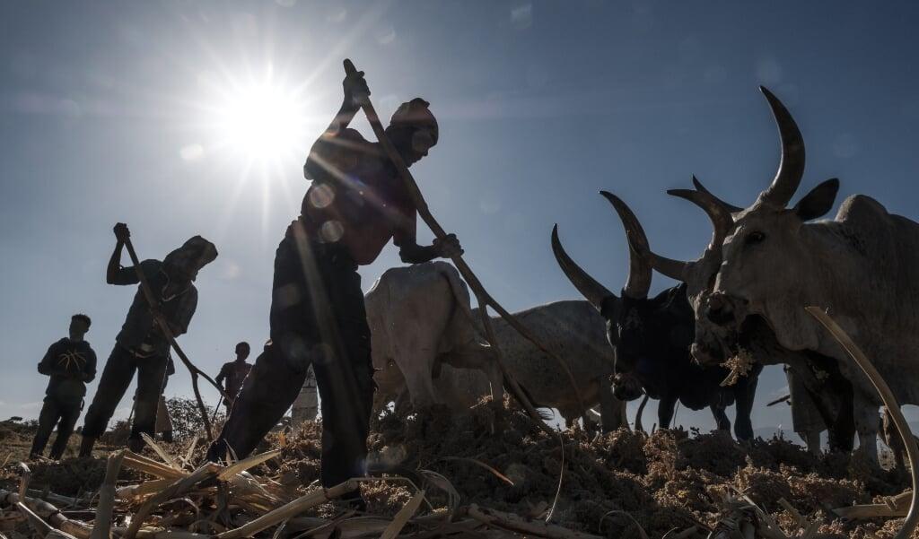 Ethiopische boeren in de door gewelddadigheden en sprinkhanenplagen geteisterde regio Tigray.  (beeld Eduardo Soteras / afp)