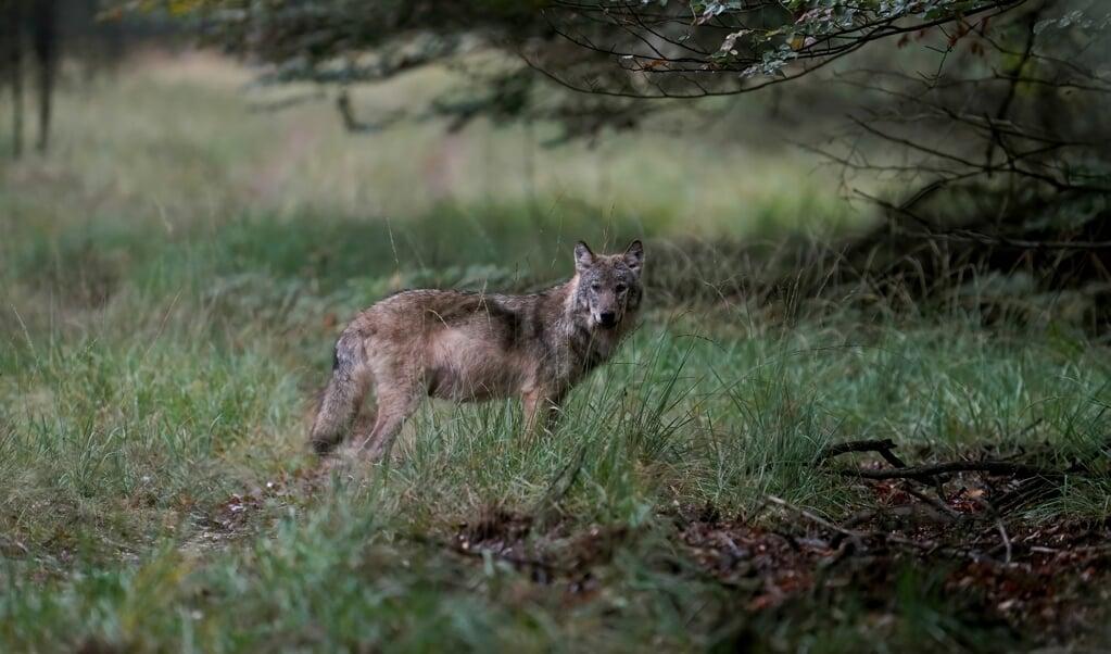 Een wolf op de Veluwe, vastgelegd door natuurfotograaf Otto Jelsma. De hobbyfotograaf kwam een zeldzame roedel met vijf wolven tegen tijdens een wandeling op de Veluwe. Wolven laten zich in Nederland bijna nooit zien in groepsverband.  (beeld anp / Otto Jelsma)