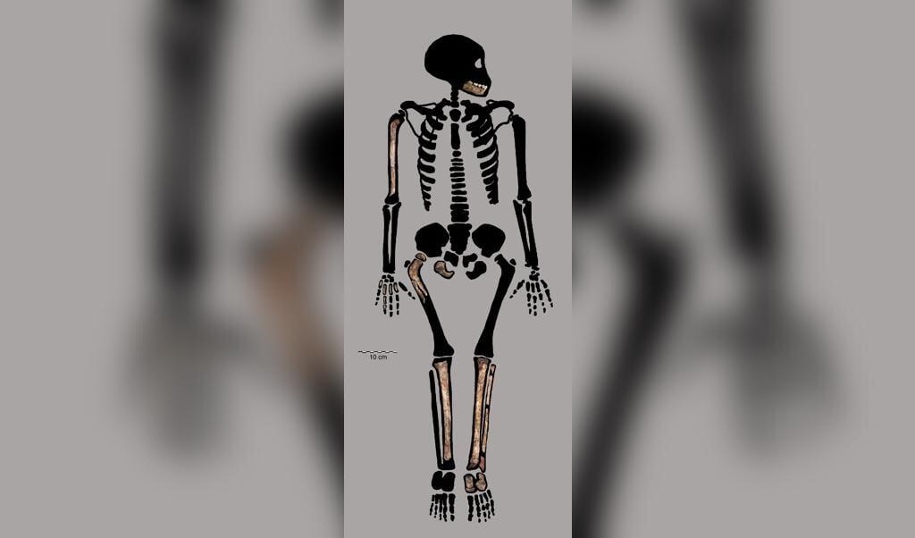 Een deel van het gedeeltelijk intacte skelet. De gevonden delen zijn in bruin weergegeven.  (beeld plos one)