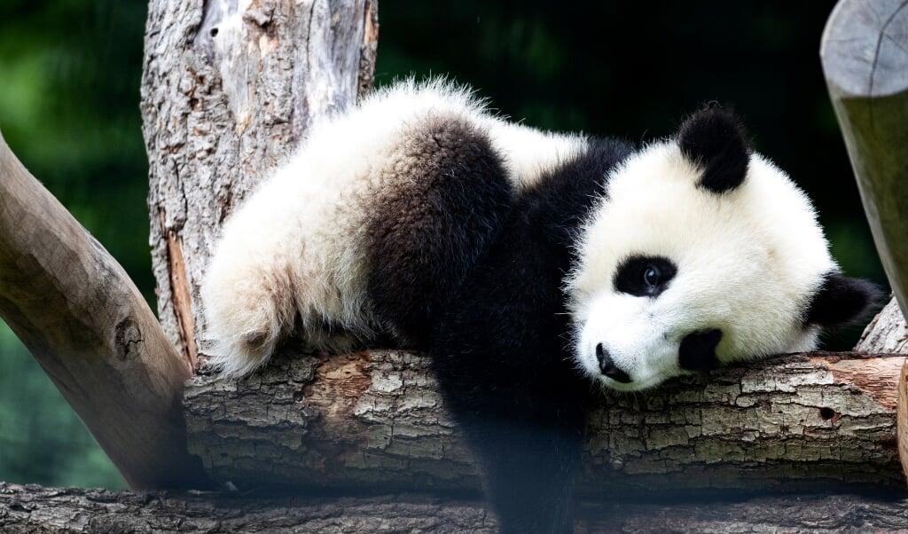 De bescherming van de reuzenpanda is succesvol, maar dat betekent niet dat het ook goed gaat met andere soorten in hetzelfde leefgebied, schrijven onderzoekers.  (beeld epa / hayoung Jeon)