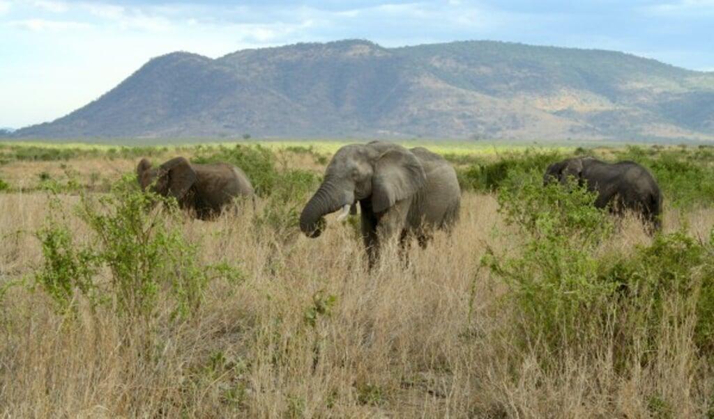 Olifanten verbouwen hun omgeving en zijn daarmee ecosysteem-ingenieurs.  (beeld Justin Yeakel)