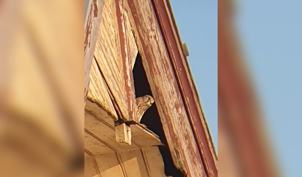 Op een dag vliegt er een torenvalk de nok van ons huis binnen.  (beeld )