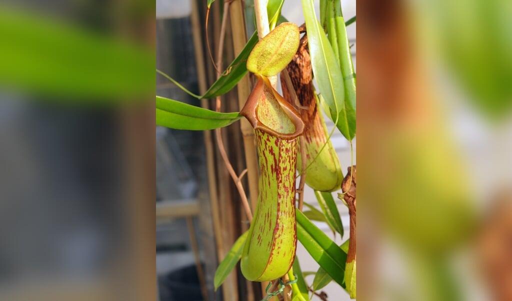 Een bekerplant op Nieuw-Guinea.  (beeld Matin Cheek)