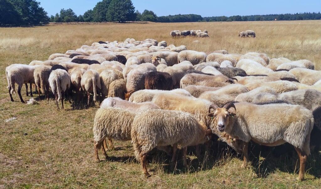 De schapen bij Exloo. Bij hitte gaan ze dicht bij elkaar staan, de koppen naar beneden.  (beeld nd)