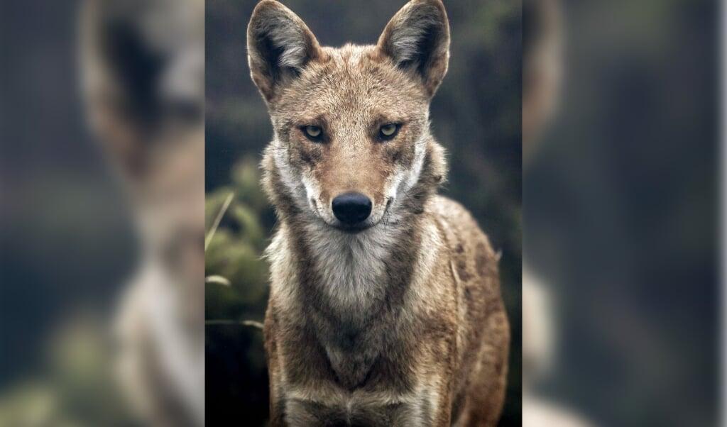 <p>Een coyote, een van de zeven onderzochte soorten roofdieren.</p>  (beeld epa / Jeffrey Arguedas)