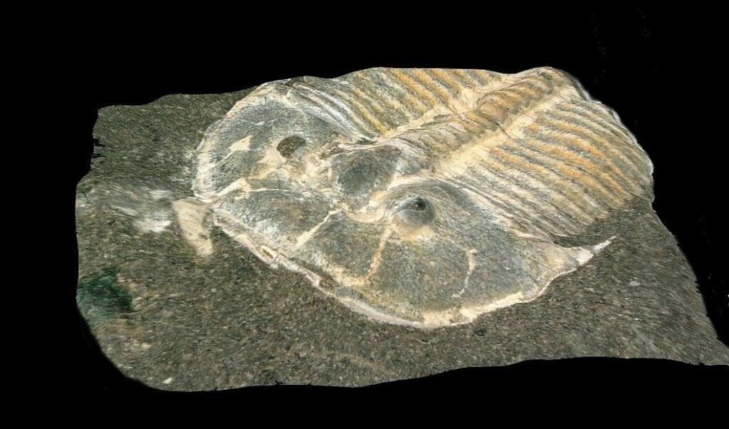 De onderzochte trilobiet, die in 1846 is opgegraven. Het diertje, met twee uitpuilende ogen, meet ongeveer een centimeter.   (beeld Brigitte Schoeneman)