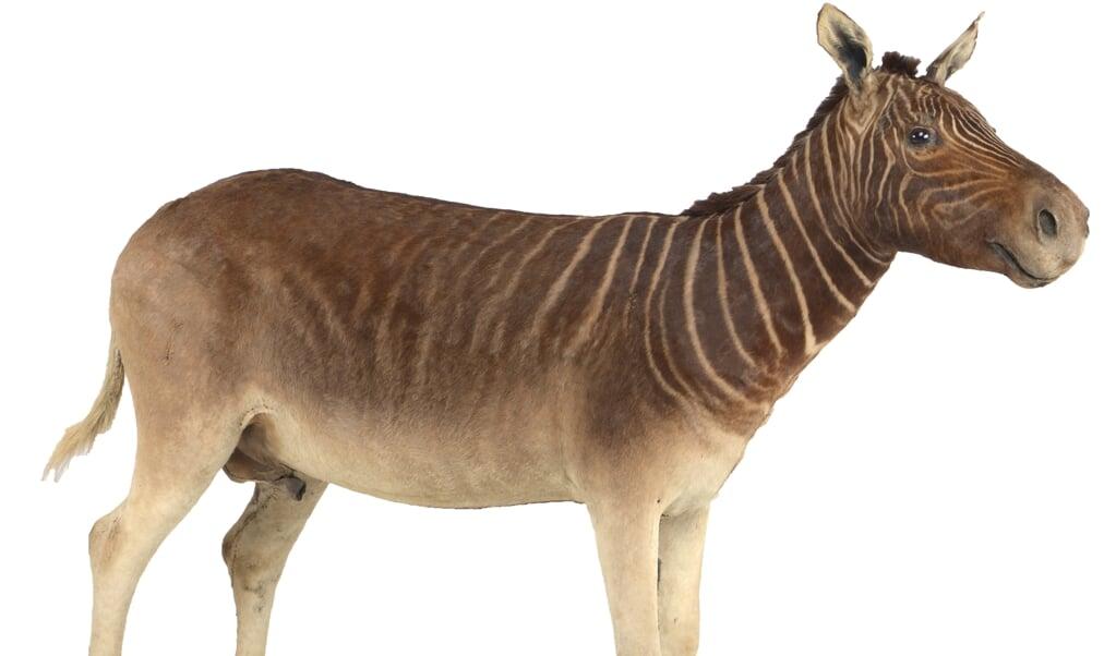 <p>De quagga is een roodbruine zebra met witte strepen.</p>  (beeld naturalis)