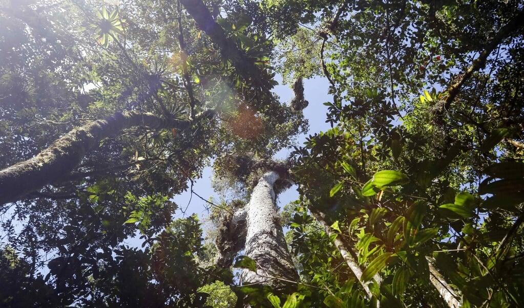 Bossen koelen de aarde af en leggen CO2 vast. Maar er valt zoveel meer moois over bomen te vertellen.  (beeld epa / Jeffrey Arguedas)