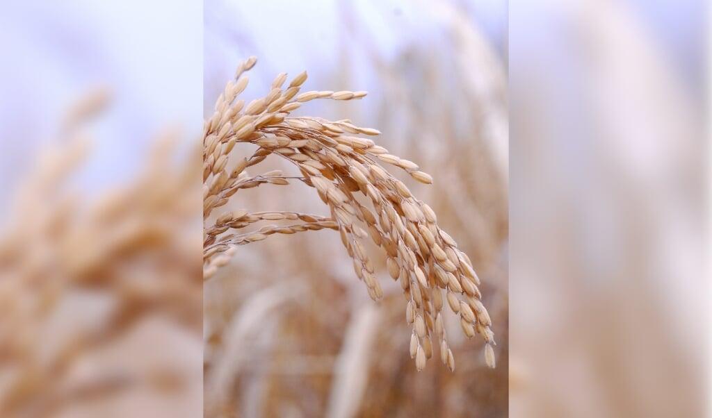 Rijst is voor de helft van de wereldbevolking het hoofdvoedsel.  (beeld Mengcen Wang)
