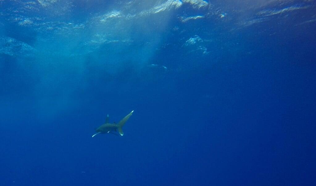 De oceanische witpunthaai is in een vrije val geraakt.  (beeld afp / Andrea Bernardi)