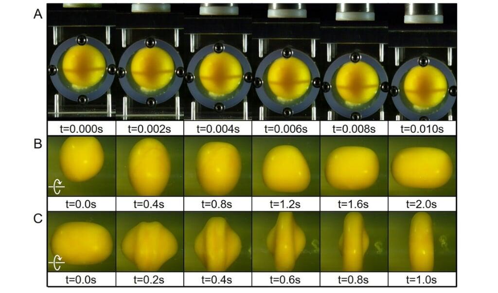 Drie proeven met de eierdooier laten zien hoe deze vervormt bij een klap op de kunstmatige schaal (boven), een versnellende draaibeweging (midden) en een remmende draaibeweging (onder).  (beeld Ji Lang en Qianhong Wu)