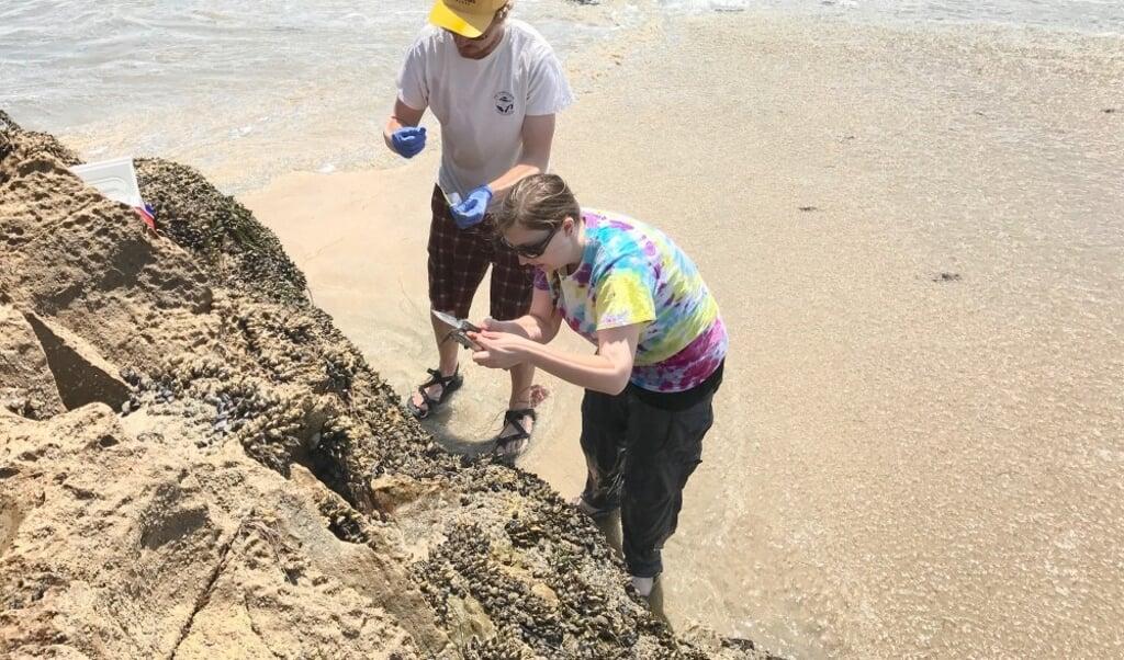 Elizabeth Bullard end Alex Neu van de UC San Diego nemen verzamelen mosselen langs de Amerikaanse westkust.  (beeld UC San Diego / Roy Lab)