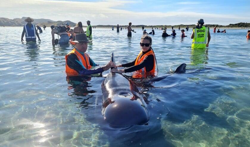 Medewerkers van Project Jonah proberen walvissen te redden die zijn aangespoeld op het strand van Farewell Spit.  (beeld afp / project jonah)