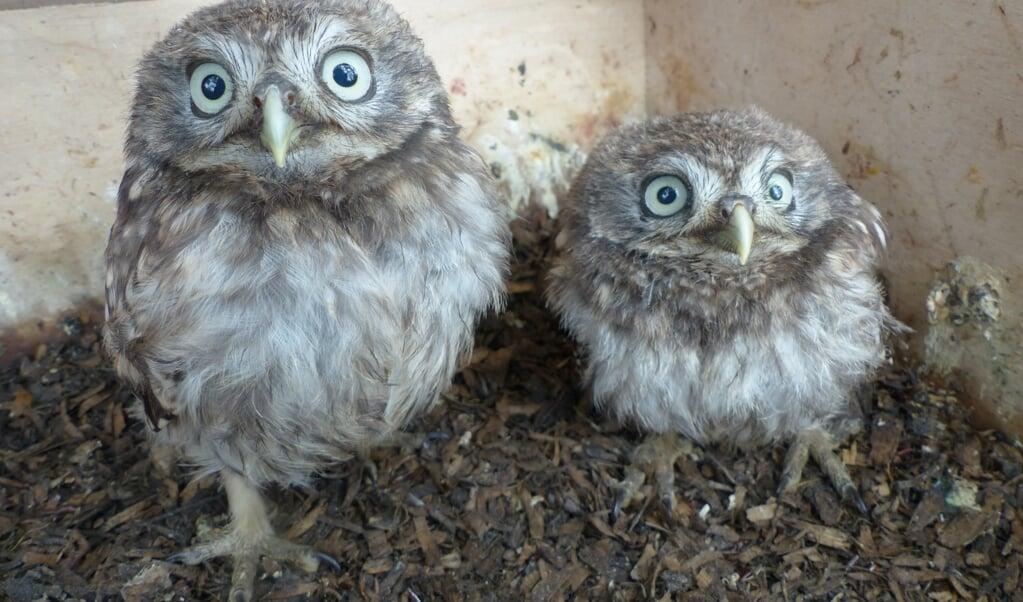 Steenuiltjes in hun nest. Soms tikken ze nieuwsgierig tegen de lens, maar binnen één dag zijn ze eraan gewend. Er zit dan hooguit een krasje op het  glas.  (beeld Ronald van Harxen)
