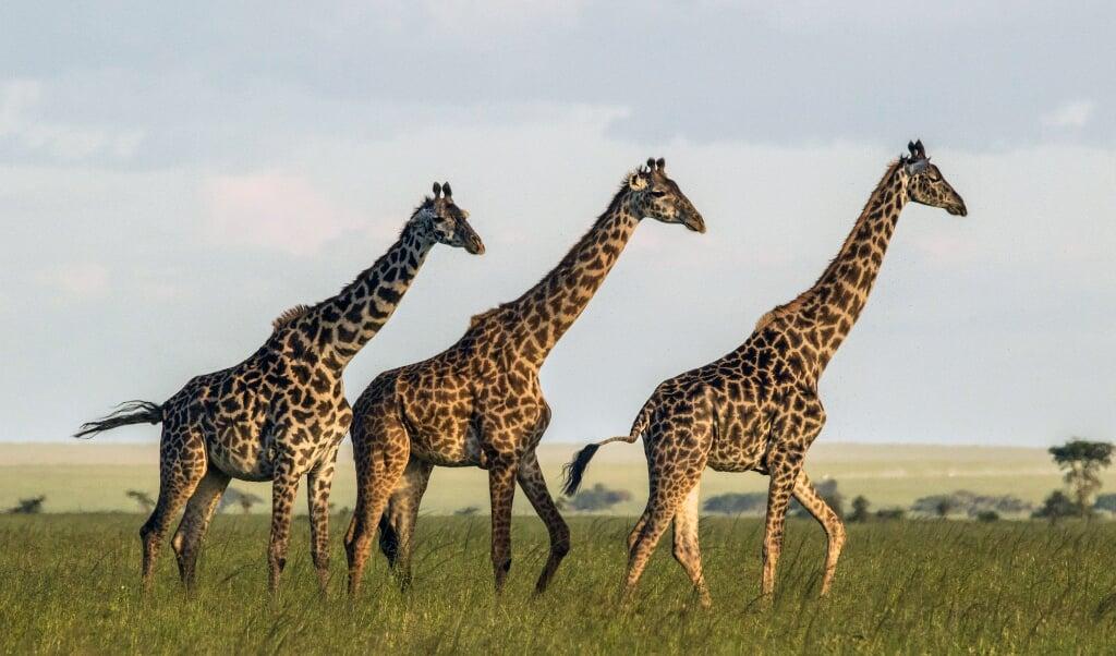 Biologen van de universiteit van Zürich volgden vijf jaar lang giraffen in Tanzania.  (beeld Sonja Metzger)