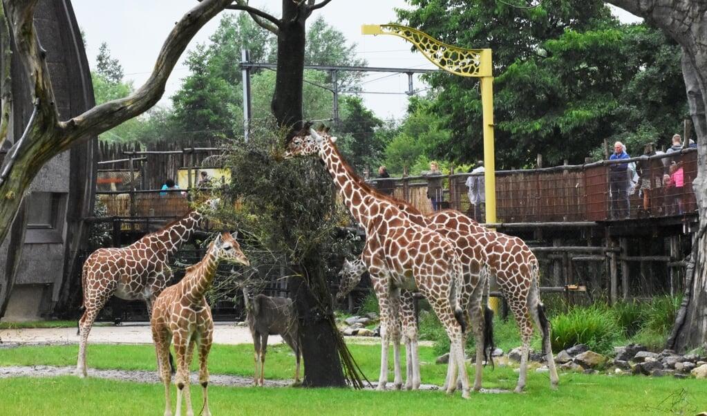 Iconische dieren zoals olifanten, giraffen en leeuwen hebben een grote aantrekkingskracht.  (beeld Theo Haerkens                       )
