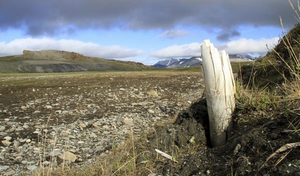 Slagtand van wolharige mammoet in Siberië.  (beeld Love Dalén)