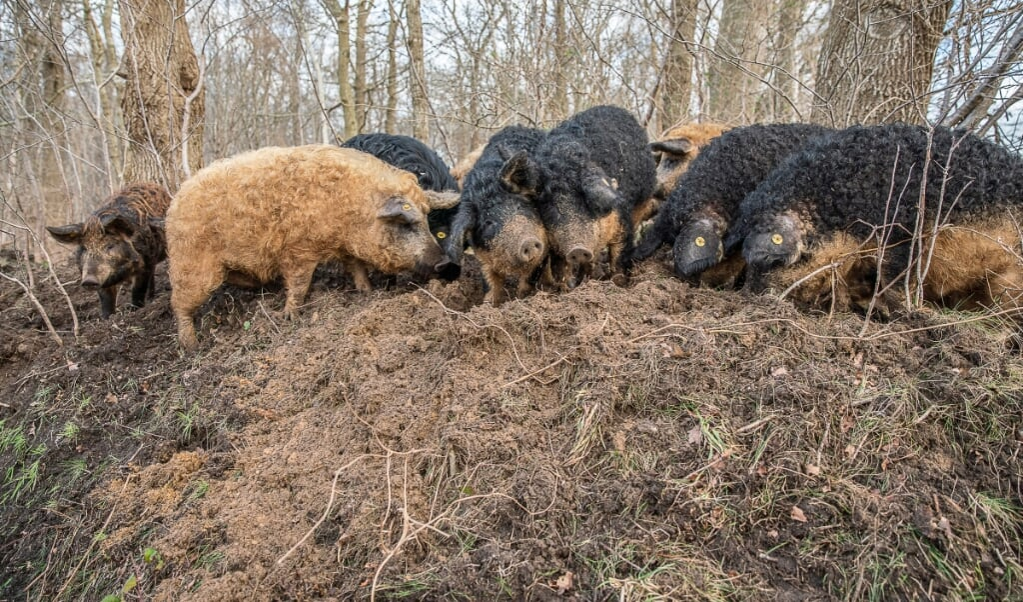 De Hongaarse wolvarkens (Mangalitza) van Hans Wilpstra ploegen door het bos op een perceel bij Roderesch.   (beeld Harry Cock)