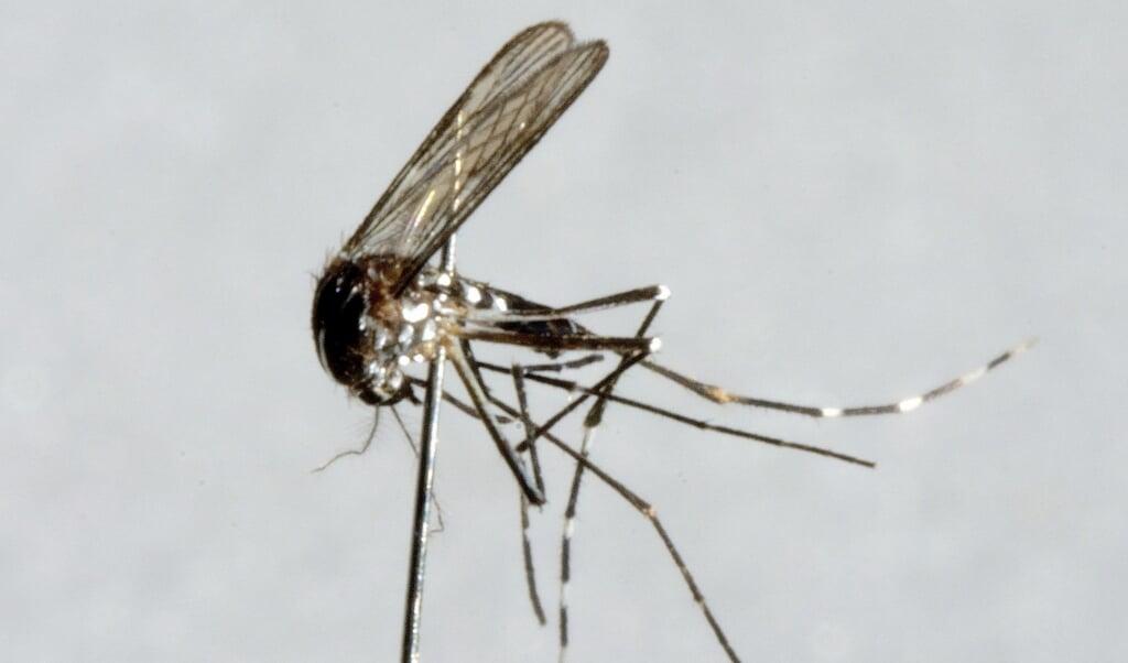 Knokkelkoorts is een virusziekte die door tijgermuggen wordt overgebracht.  (beeld anp / Lex van Lieshout)